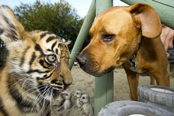 6216958-low_res-tigers-about-the-house.jpg