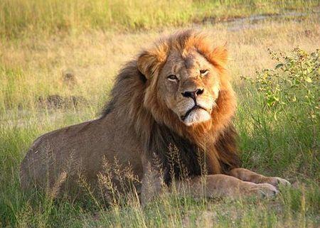 Cecil_the_lion_at_Hwange_National_Park_(4516560206).jpg