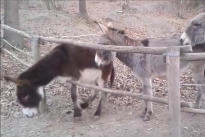 Donkey-comes-to-rescue-of-fence-foiled-friend-in-Italy.jpg