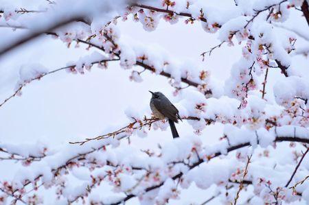 snow_cherry.jpg